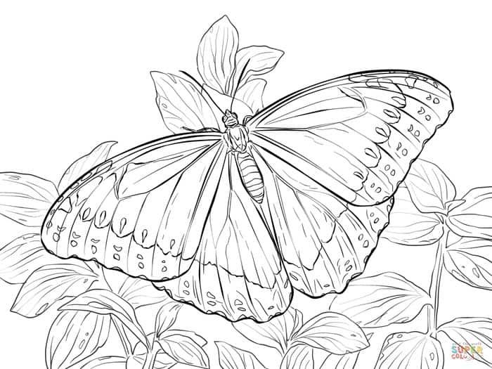 Blue Morpho Butterfly Coloring Pages Butterfly Coloring Page Blue Morpho Butterfly Animal Coloring Pages