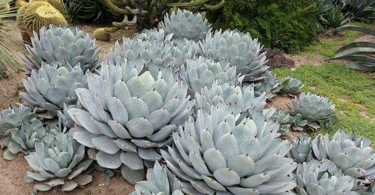 Native to regions in Arizona and northern Mexico, Parry's Agave is one of the most cold-hardy species of the Agaves, giving gardeners in...