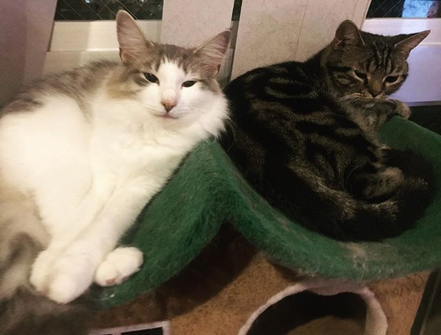 キャットタワーで添い寝ちゅうれい。 #アメショ #ノルウェージャン #愛猫 #ねこすたぐらむ #ねこらぶ #ねこ #cat #cats #ねこかわいい #고양이 #고양이카페  #고양이스타그램 #ねこぶ #ネコ #多頭飼い #にゃんこ #fmyokohama #東京 #love  #横浜 #猫カフェ