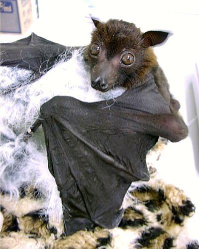 flying fox bat - bats Photo