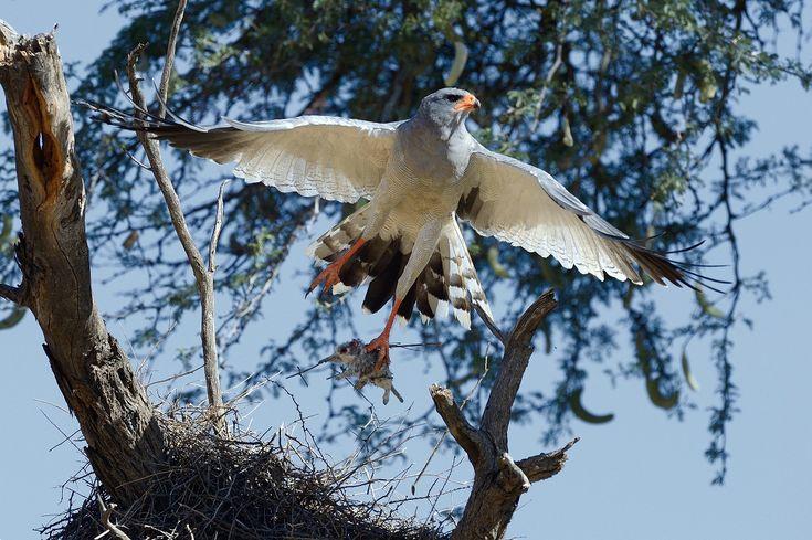 kgalagadi-gerhard-vosloo-pale-chanting-goshawk- holding a catch