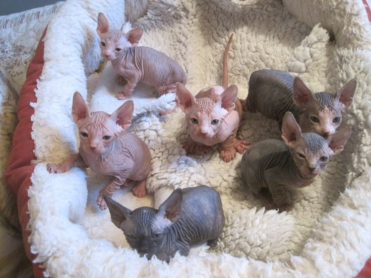 baby hairless cats - Google Search