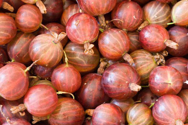 В среднем с одного куста крыжовника собирают около 6-8 кг ягод