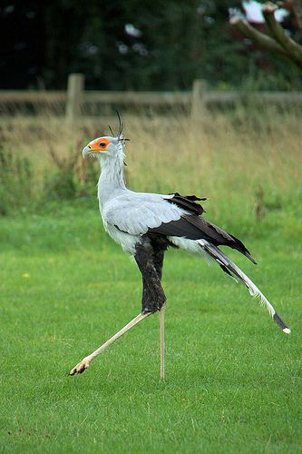 Secretary Bird. I based my wyverns off these birds and the way they move and the way they look.