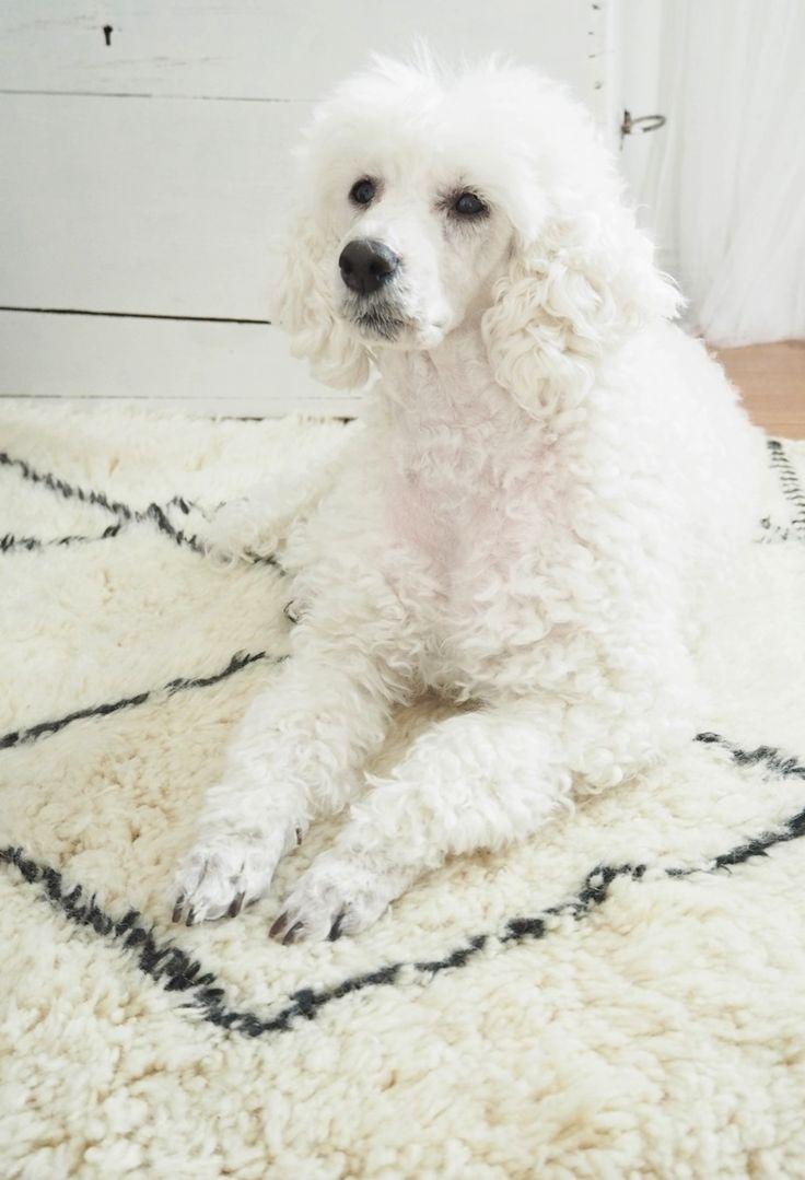Villejä Lupiineja-bloggaajan Maritan koira on päässyt poseeraamaan Aicha-beniouarainin päälle. Eikä kannata pelätä, pehmeät villamatot sopivat myös koteihin, joissa on lemmikeitä. Tosin en tiedä, millaisia unia 100 % lampaanvillaa olevat matot aiheuttavat paimenkoirille... #beniouarain #berberrug #pets