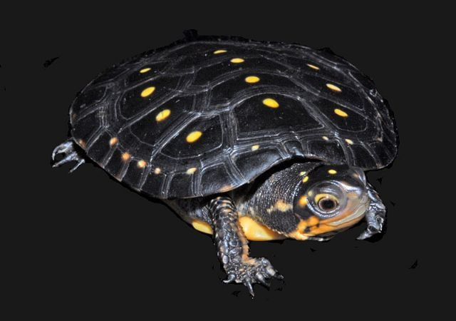 Spotted Turtle.