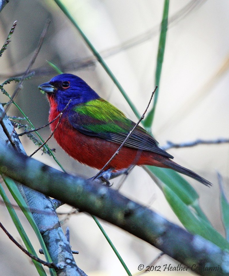 Painted Bunting is all decked out in Lakeland, Florida
