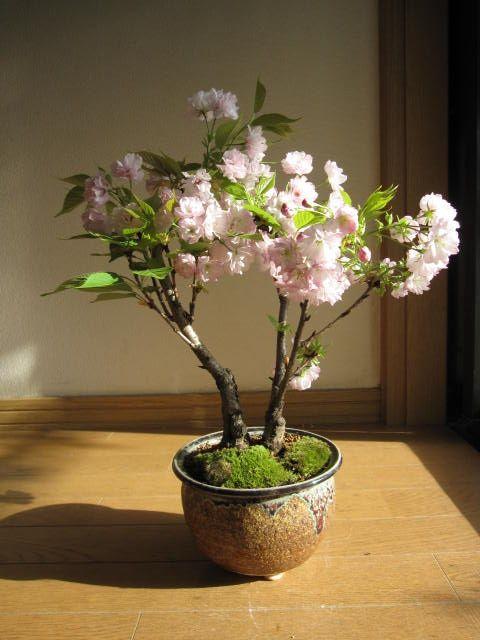 八重桜桜盆栽楊貴妃桜盆栽ツイン桜盆栽信楽鉢入り桜盆栽海外でもBONSAIボンサイと言います。桜盆栽でお花見
