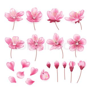 Set of beautiful cherry tree flowers isolated on t…