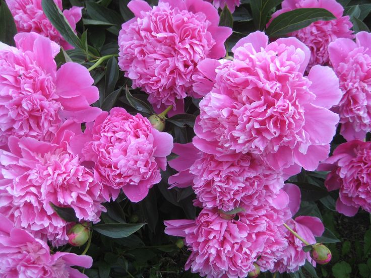 The biggest & brightest pink peonies grow in Saaremaa!