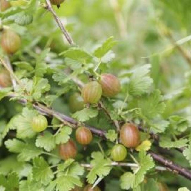 recipe: american gooseberry mildew treatment [15]