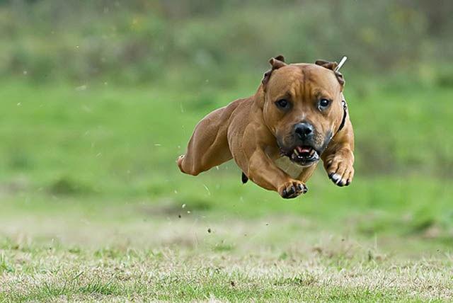 いぬ: Animal Pictures, Bull Terriers, Funny Pictures, Pitbull, Dogs Running, Pit Bull, Funny Animal, Funny Dogs Pictures, Big Dogs