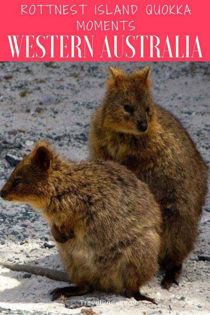 Rottnest Island quokka moments. Rottnest Island is 25-minute ferry ride from Freemantle, Western Australia.