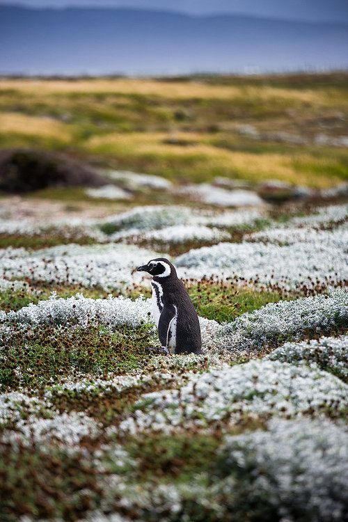 A lone penguin waiting for the rest of his group to get going again. Taken near Punta Arenas in Patagonia, Chile. First time I had seen penguins in their own habitat. In a field of all places! I'll never forget this trip I took with a good friend.