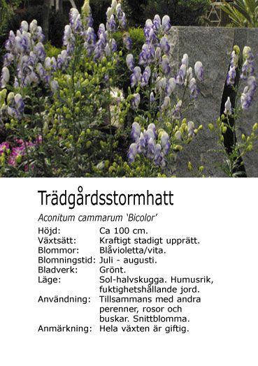 #sommar Aconitum cammarum 'Bicolor' - Trädgårdsstormhatt. (enl. Lark Aconitum x bicolor?) Långlivad. Bin.