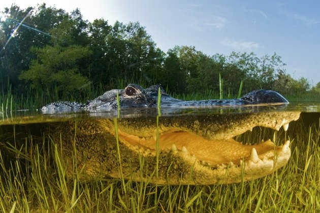 There is at least ONE alligator in EVERY body of water in FL!