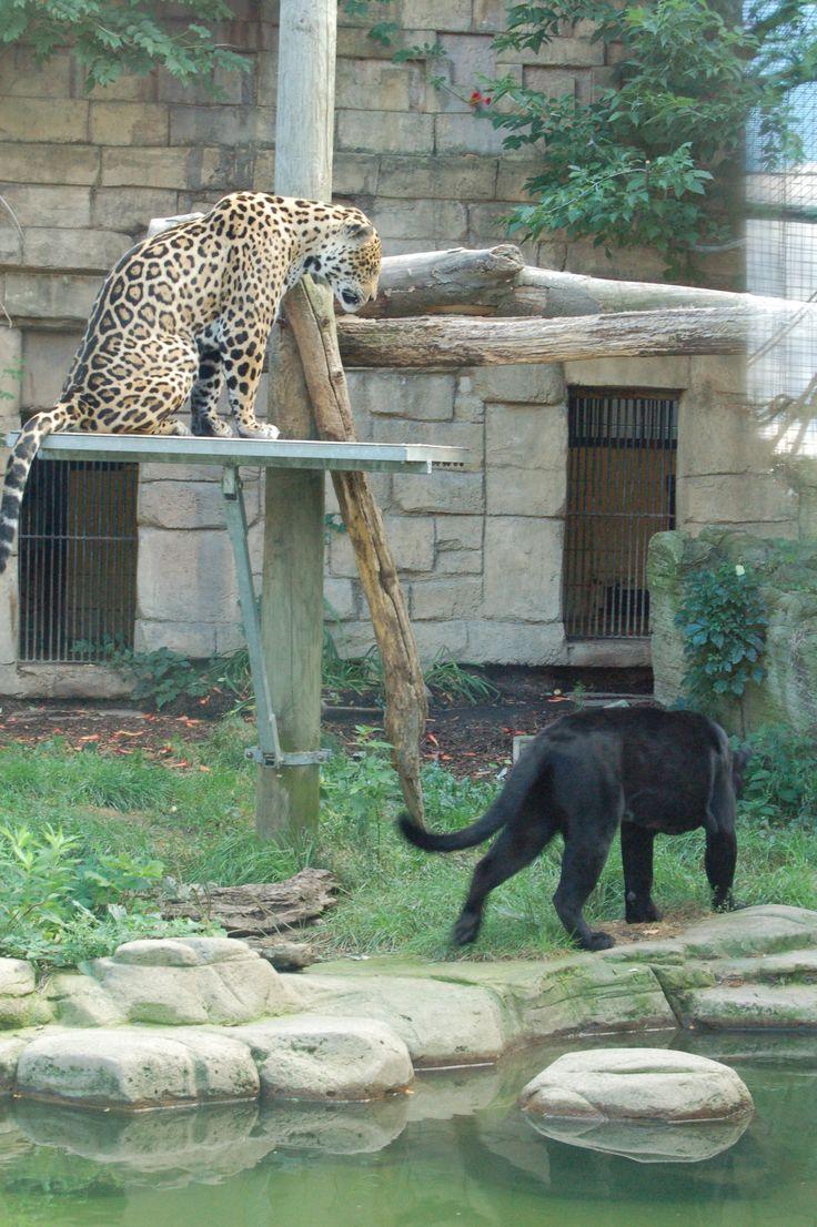 jaguars at Toronto Zoo