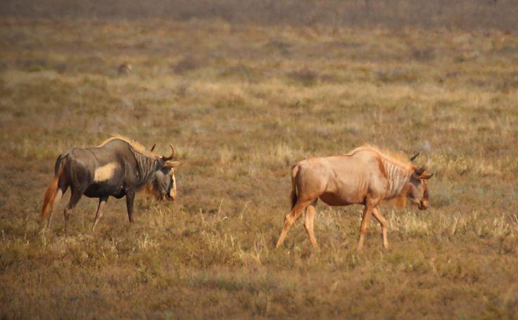 king and golden wildebeest