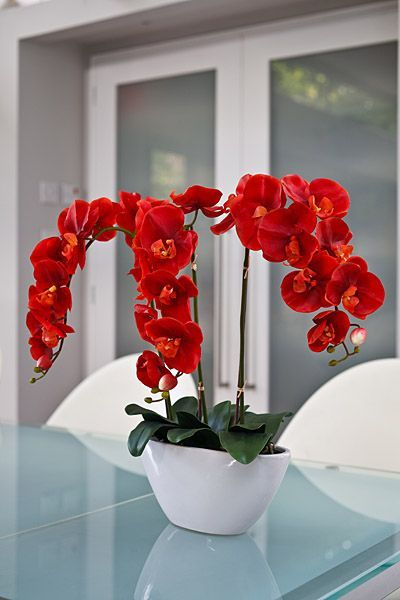 Phalaenopsis orchid red.La floración es lateral, por lo general vistosa y de larga duración. Las inflorescencias suelen ser ramificadas, las flores mayoritariamente planas se reconocen fácilmente como orquídeas presentando tres sépalos, por lo general uniformes en forma y color, y tres pétalos, de los cuales el inferior forma el labelo, generalmente fuertemente trilobulado, de colores llamativos y con dos característicos apéndices alargados en el ápice, o con cilios o vellosidades o una