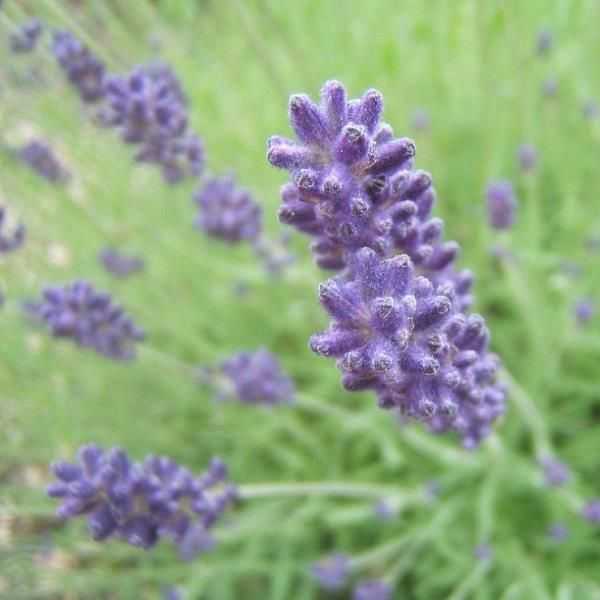 how to grow lavender in alberta