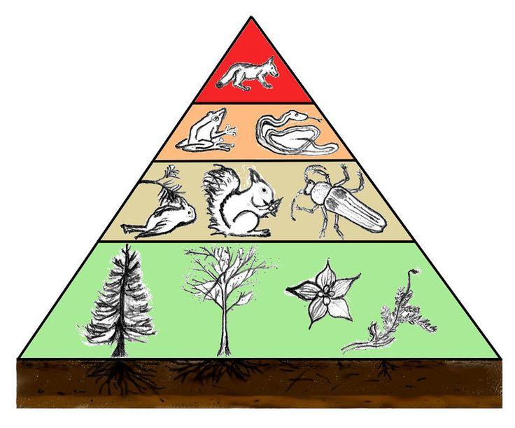Die voedselpiramide: plante (onder), plantvreters (middel), vleisvreters (bo)…