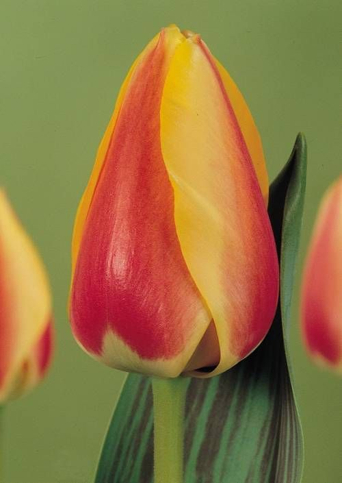 Unbreakable Rules For Tulip Care | Doug Green