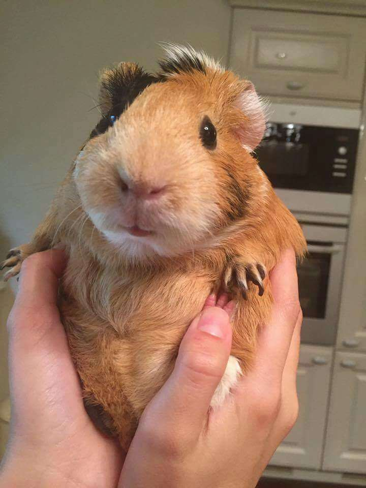 Marvelous 120+ Funny Guinea Pig Pictures https://meowlogy.com/2017/03/30/120-funny-guinea-pig-pictures/ Guinea pigs rarely require bathing. Should you be interested in having a guinea pig, the ideal thing to do is to adopt. In case you are looking at a gu