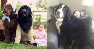 The most massive dog breeds will crush you with cuteness