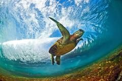 A Hawaiian Green Sea Turtle, honu as they are known in Hawaii, passes behind a breaking wave. These endangered turtles are herbivores and only eat plants and co