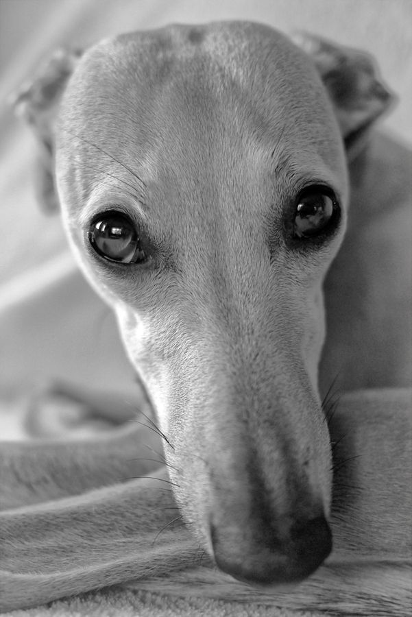 Italian Greyhound.. . . and this one looks just like my long gone Ellie, childhood pet.  Missed but fondly remembered.