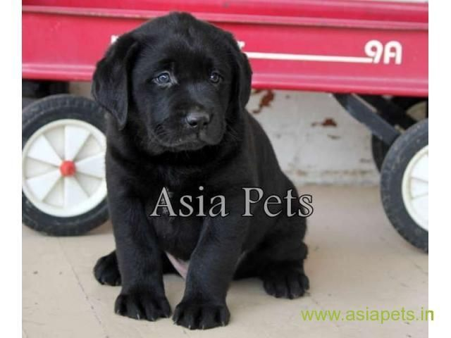 Labrador Pups Price In Navi Mumbai Labrador Pups For Sale In Navi