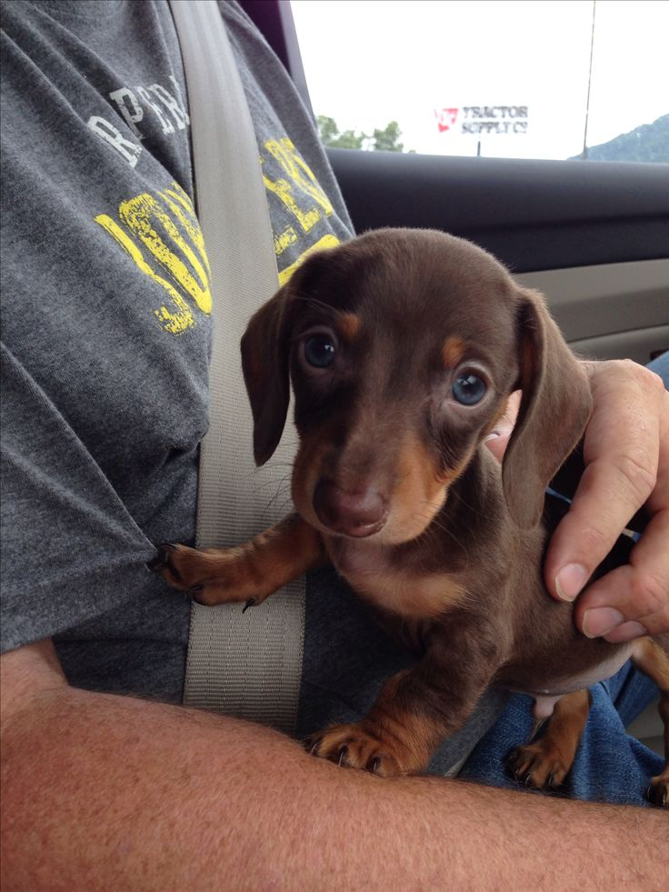 "7 week old mini dachshund puppy ""Mini Cooper""!"
