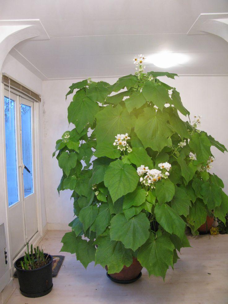 Sparmannia africana ~ Indoor Lime ~ Zimmerlinde ~ Kamerlinde