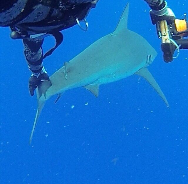 Nature is incredible - pushing boundaries with this grey nurse shark. Amazing experience