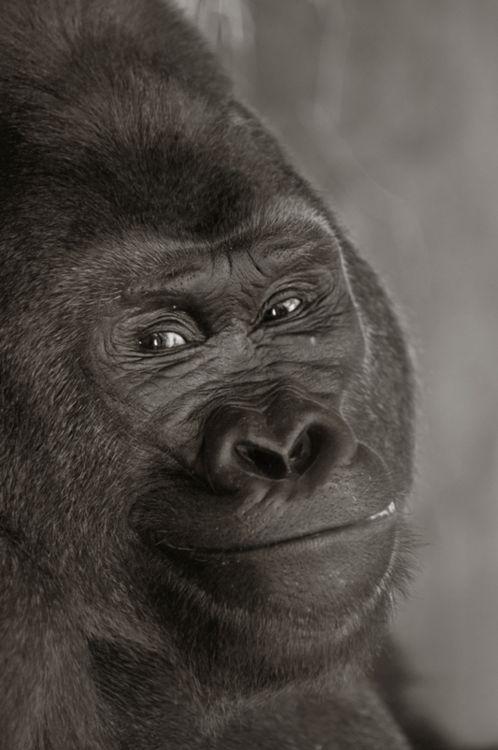 380 besten kong bilder auf pinterest affen gorilla gorilla und animal kingdom. Black Bedroom Furniture Sets. Home Design Ideas
