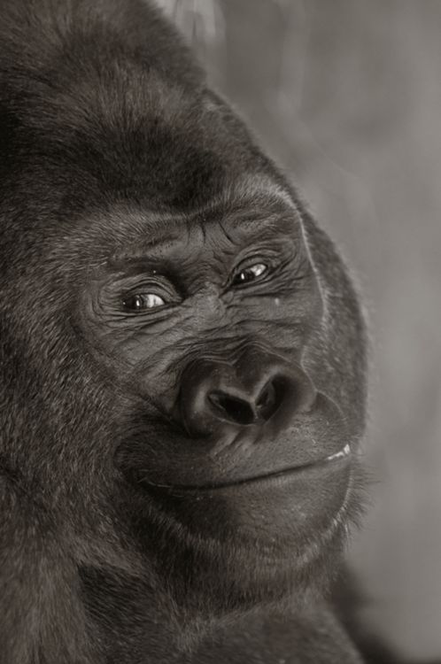 Not trying to be racist, but this Gorilla seriously has the eyes of Whoopi Goldberg. Lol