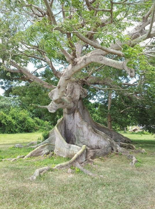 375 years old, Ceiba Tree, Vieques, Puerto Rico