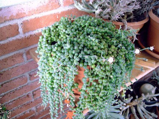 Planta rosario cuidar de tus plantas es - Plantas trepadoras de sol ...