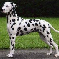 #dogalize Razze Cani: Il cane Dalmata carattere e prezzo #dogs #cats #pets