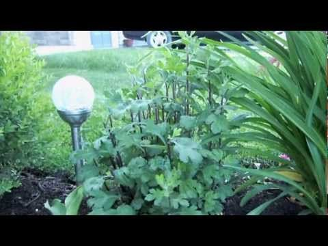 Spring Pruning of Fall Mums - YouTube Prune half of height twice - once in May and once in late June