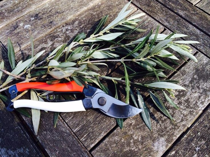 #Pruning #Olive #branches