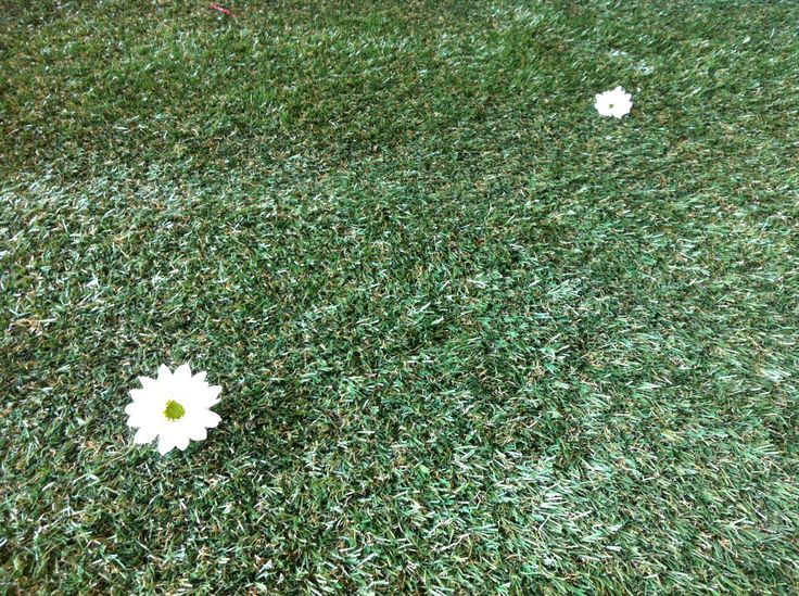 Real daisies in synthetic grass