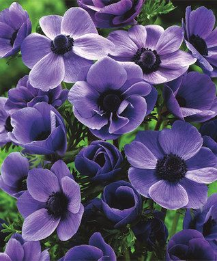 Windflowers Purplelicious Bulb