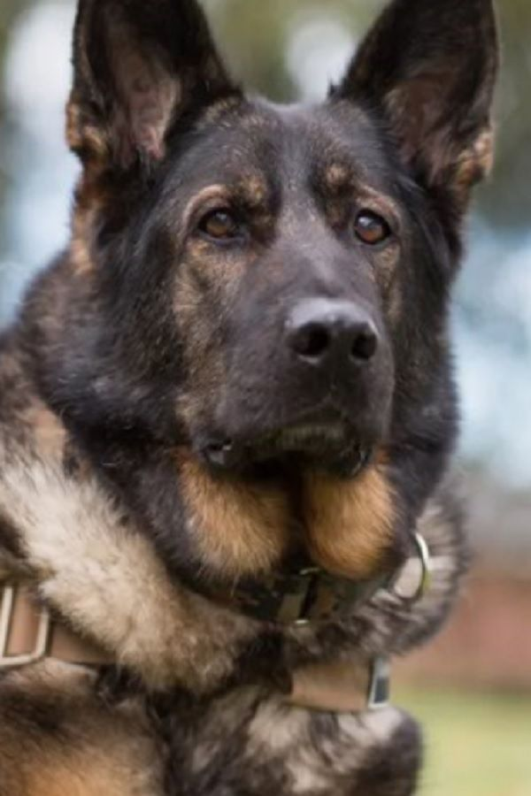 Want To Give A Retired Police Or Military Dog A Forever Home