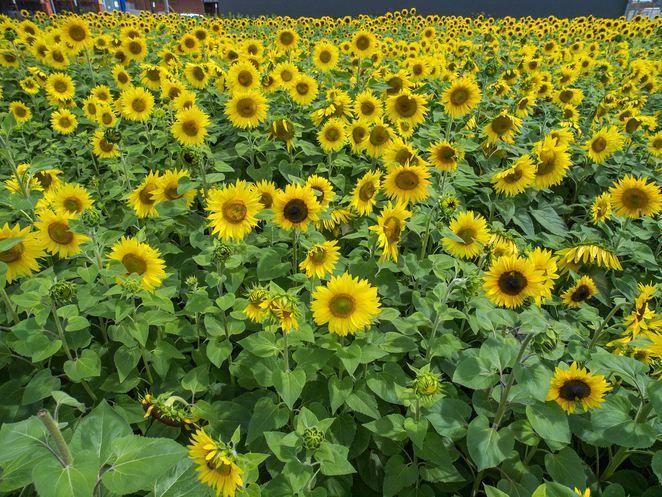 #getsunflowered, latrobe valley sunflowers, moe sunflowers, traralgon sunflowers, morwell sunflowers,