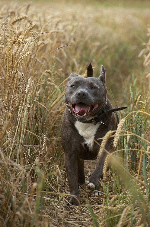 Staffordshire Bull Terrier field