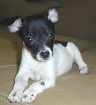 I'm going to educate the rest of the world about TFT's. Toy Fox Terriers are the BEST!