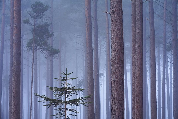 Heavy mist in a pine wood, New Forest, Hampshire, England, United Kingdom, Europe - 799-175