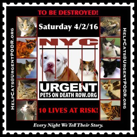 TO BE DESTROYED  04/02/16 - - Info  Please Share:   TO BE DESTROYED Please Share: -  Click for info & Current Status: http://nyccats.urgentpodr.org/montage-071215/