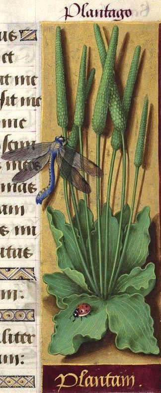 Plantain - Plantago (Plantago major L. = grand plantain) -- Grandes Heures d'Anne de Bretagne, BNF, Ms Latin 9474, 1503-1508, f°132r